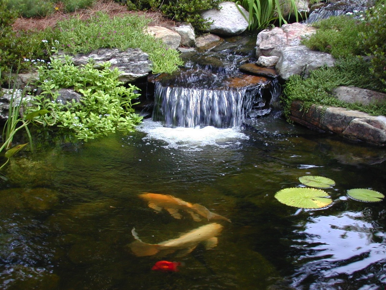 Koi pond waterfall waterlilies